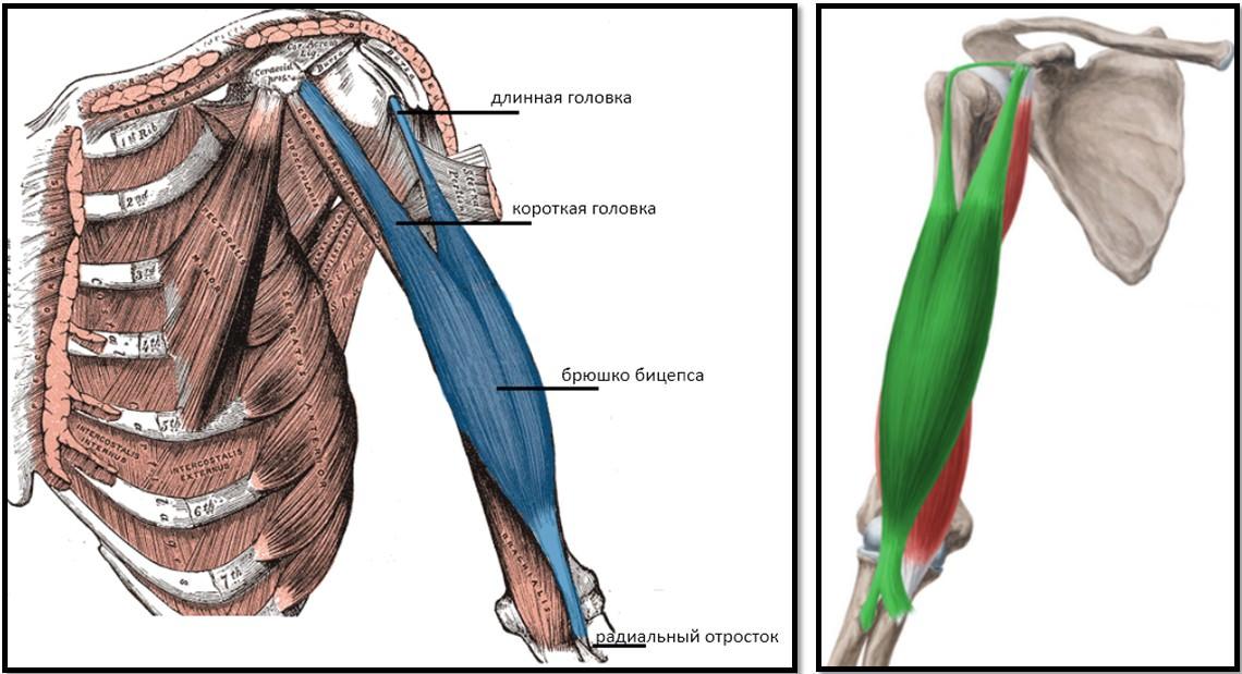articulațiile umărului din presă de banc artroza coco a genunchiului