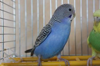 cum să tratezi artrita la papagali artroză 2-3 grade a articulației șoldului